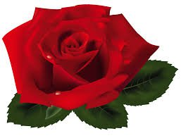 red rose png - Google Search