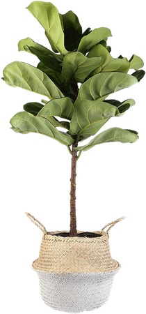Costa Farms Live Ficus Lyrata, Fiddle-Leaf Fig, Floor Plant, 4-Feet Tall, Ships in Seagrass Basket, White-Natural, Fresh From Our Farm | Decorist