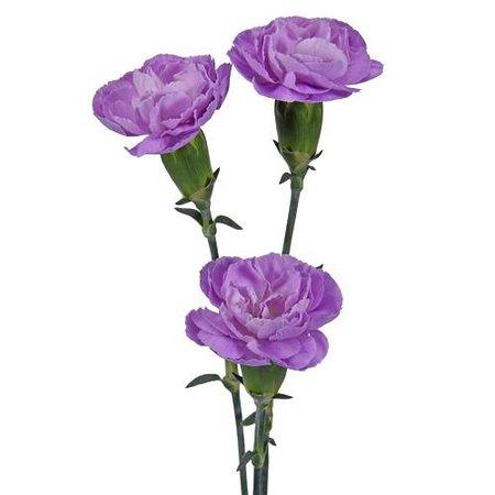 Moonpearl Lavender Mini Carnation Flowers   FiftyFlowers.com