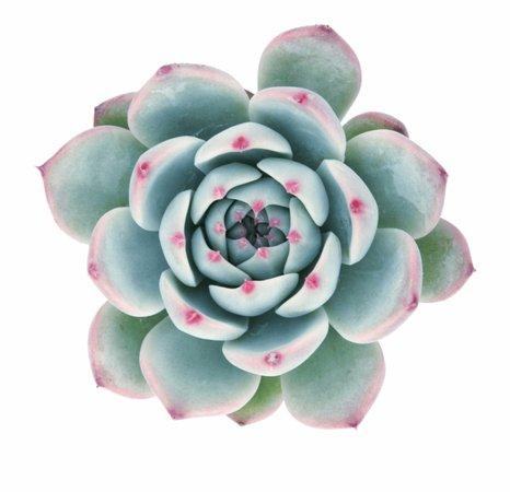 Echeveria 'tippy' Succulents - Succulent Transparent Free PNG Images & Clipart Download #1215830 - Sccpre.Cat