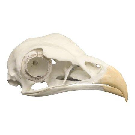 Replica Secretary Bird Skull For Sale – Skulls Unlimited International, Inc.