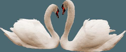 Swan PNG
