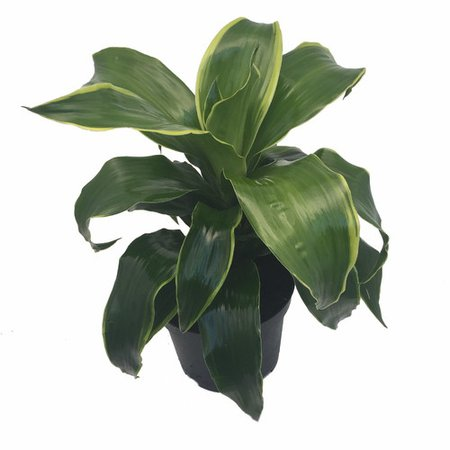 "Dorado Dragon Tree - Pleomele - Dracaena -6"" Pot-Easy to Grow House Plant - Hirt's Gardens"