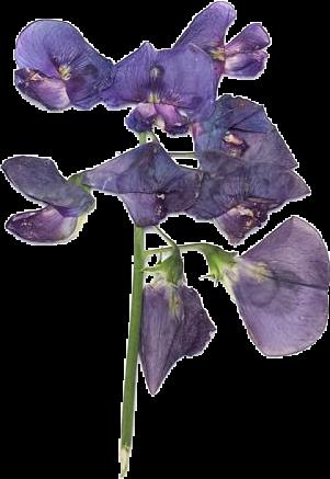 lavender moodboard moodboards png filler purple flower...