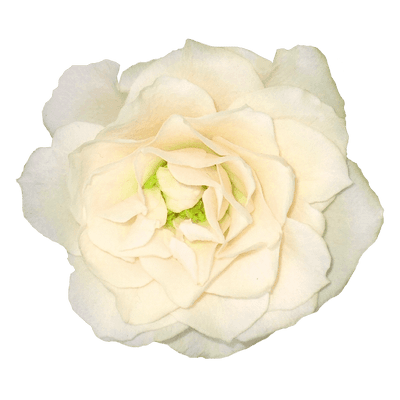 Bouquet Of White Roses transparent PNG - StickPNG
