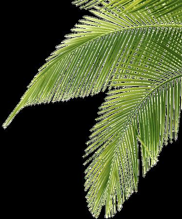 palm leaves