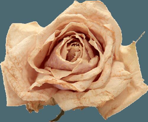 pink rose filler