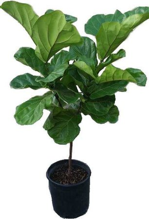 Ficus Lyrata Tree Plant in 12 Pot Also Called Fiddle