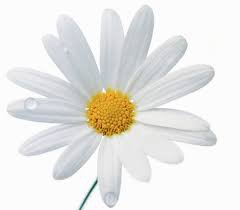 daisy april birth flower - Google Search