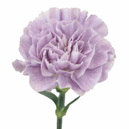 Lavender Light Purple Carnation Flowers   FiftyFlowers.com
