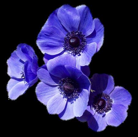 Blue Poppy Clipart