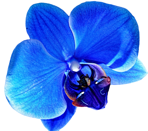 Blue Orchid Clipart (Icon Supplies)