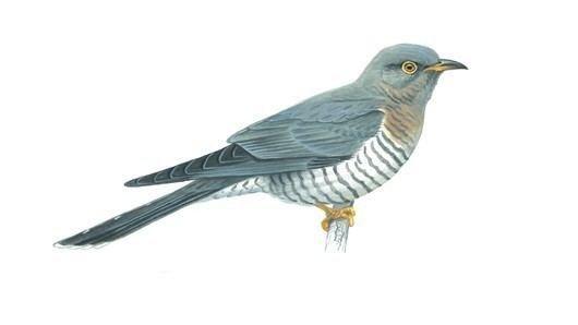 Cuckoo - Alchetron, The Free Social Encyclopedia