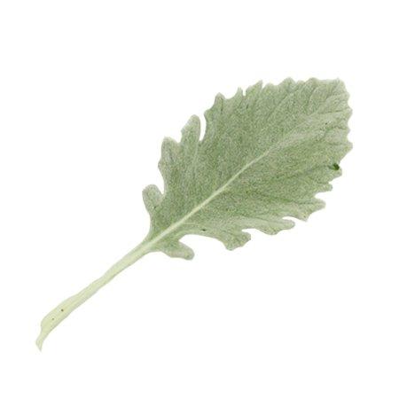 Dusty Miller Green Filler Flower | FiftyFlowers.com