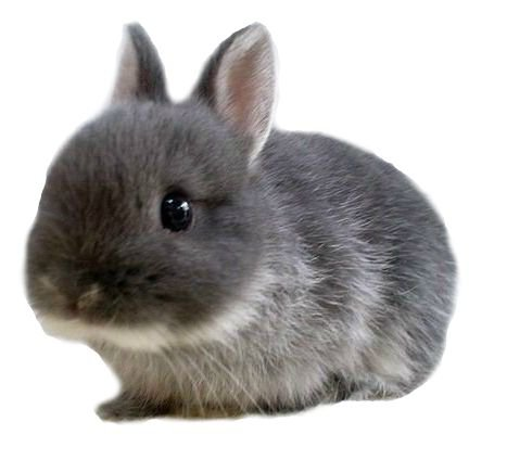 grey bunnies rabbit png