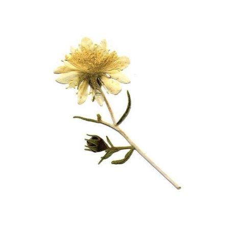 yellow pressed flower