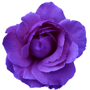 Dark Purple Rose (clipart)