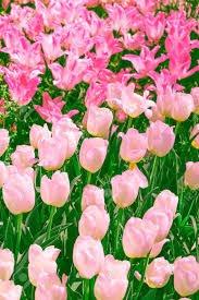 tulip bright aesthetic - Google Search