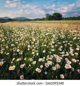 Daisy Field Images, Stock Photos & Vectors | Shutterstock