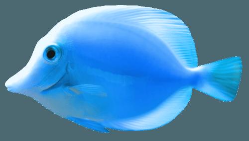 Blue Fish PNG Clipart - Best WEB Clipart