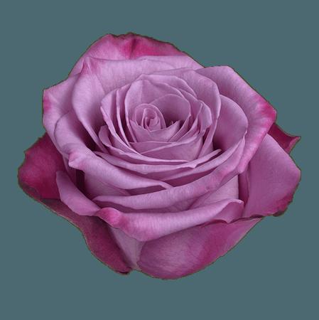Moody-Blue-Multicolor-Purple-Rose.png (800×802)