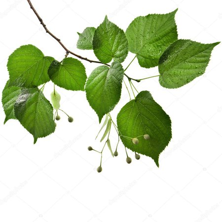 linden tree no background - Google Search
