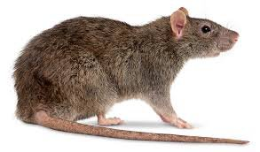 brown rat - Google Search