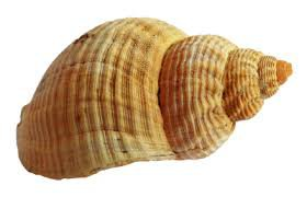 royalty free transparent seashell - Google Search