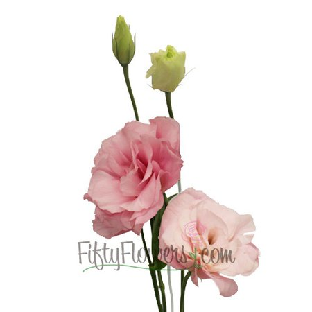 Light Pink Designer Lisianthus Flower   FiftyFlowers.com