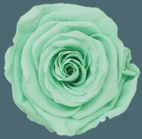 Mint Rose 2