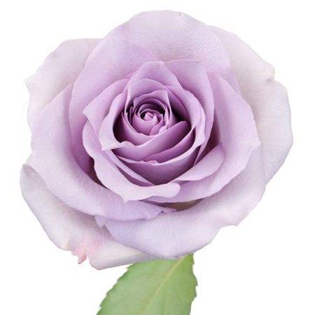 Lavender Ocean Light Purple Sweetheart Roses   FiftyFlowers
