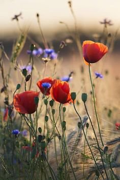 """Pinterest - """"""""In Flanders fields the poppies blow…"""" - Limited Edition 1 of 100   Flowers"""