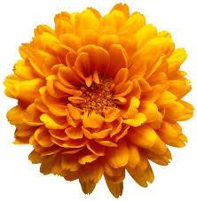 orange sunflower - Google Search