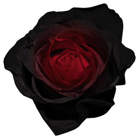 red and black rose png - Google Search