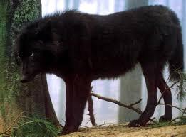 black wolf - Google Search