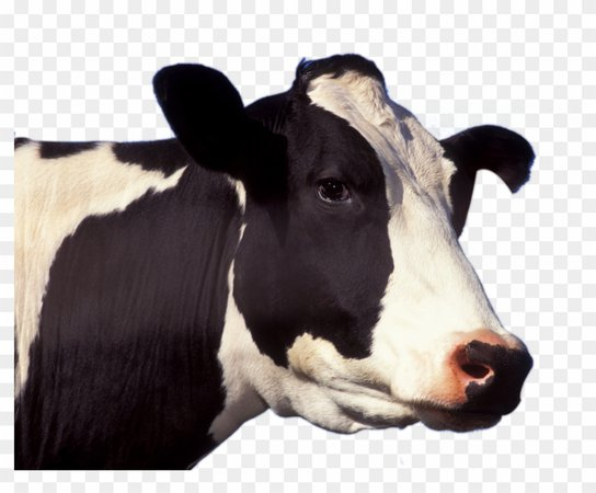 cow transparent - Google Search