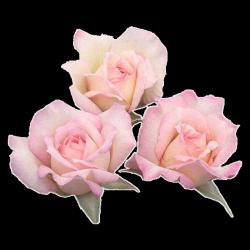 Pink rose pngs