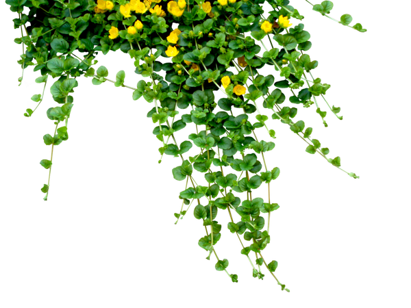 Flowers plants yellow