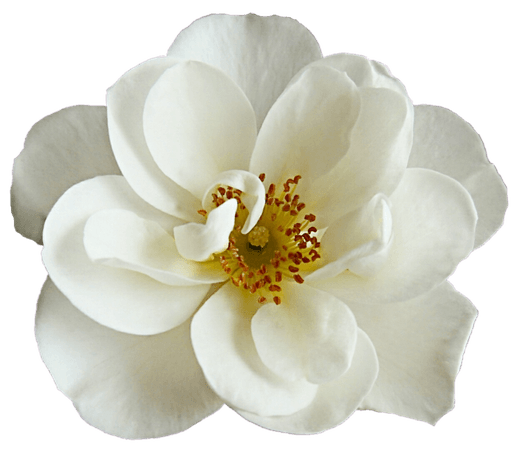 White Dogwood Rose (Clipart for Icons)