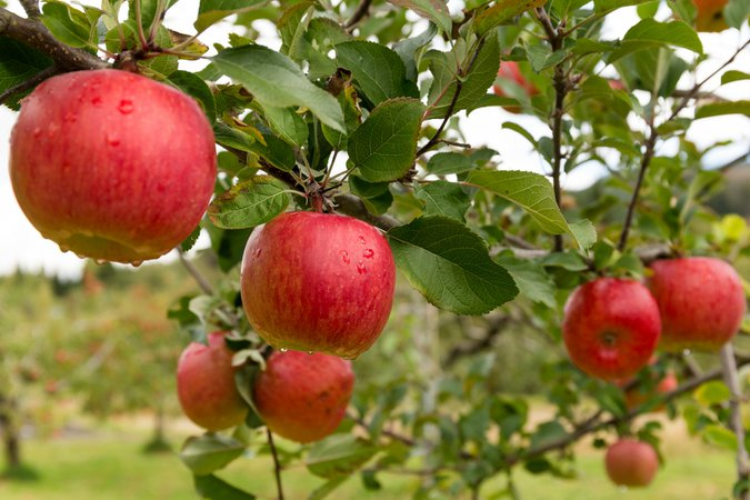 Pick Your Own Apple (and Orchard) | Minnesota Monthly