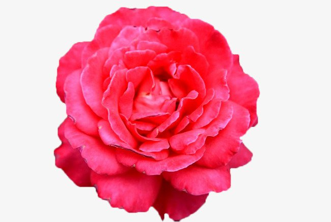 Pink Rose (Icon Clipart)