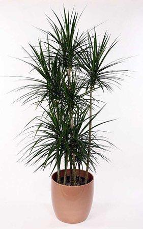 "Amazon.com : Madagascar Dragon Tree - Dracaena marginata - 4"" Pot - Easy to Grow House Plant : Garden & Outdoor"