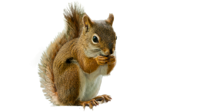squirrel png image 4 - Free PNG Images