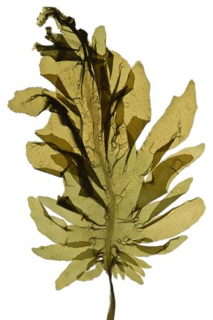 seaweed filler png