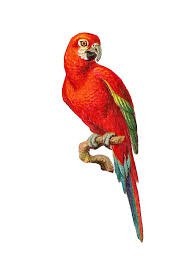 tropical parrot png - Google Search