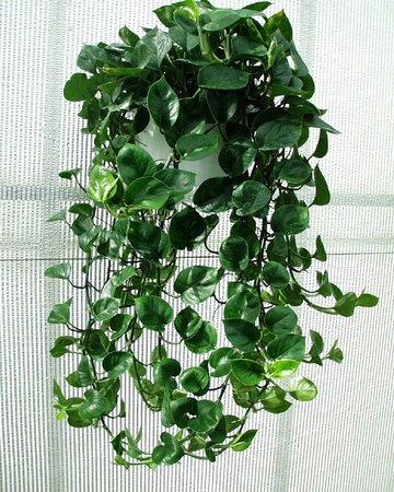 PHILODENDRON CORDATUM Heart Leaf Ivy Plant Popular House