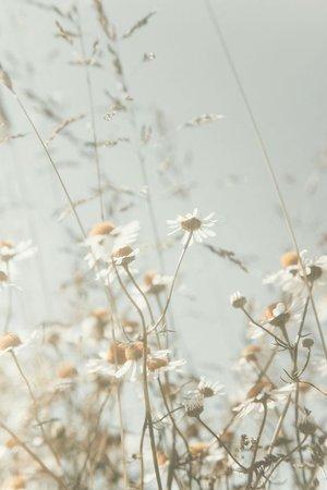 aesthetic daisy meadow