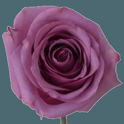 Purple Rose png