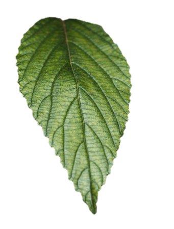 Green Leaf Filler