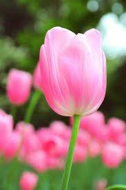 tulip aesthetic - Google Search